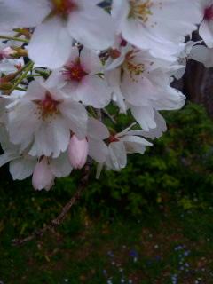 桜、サクラ…