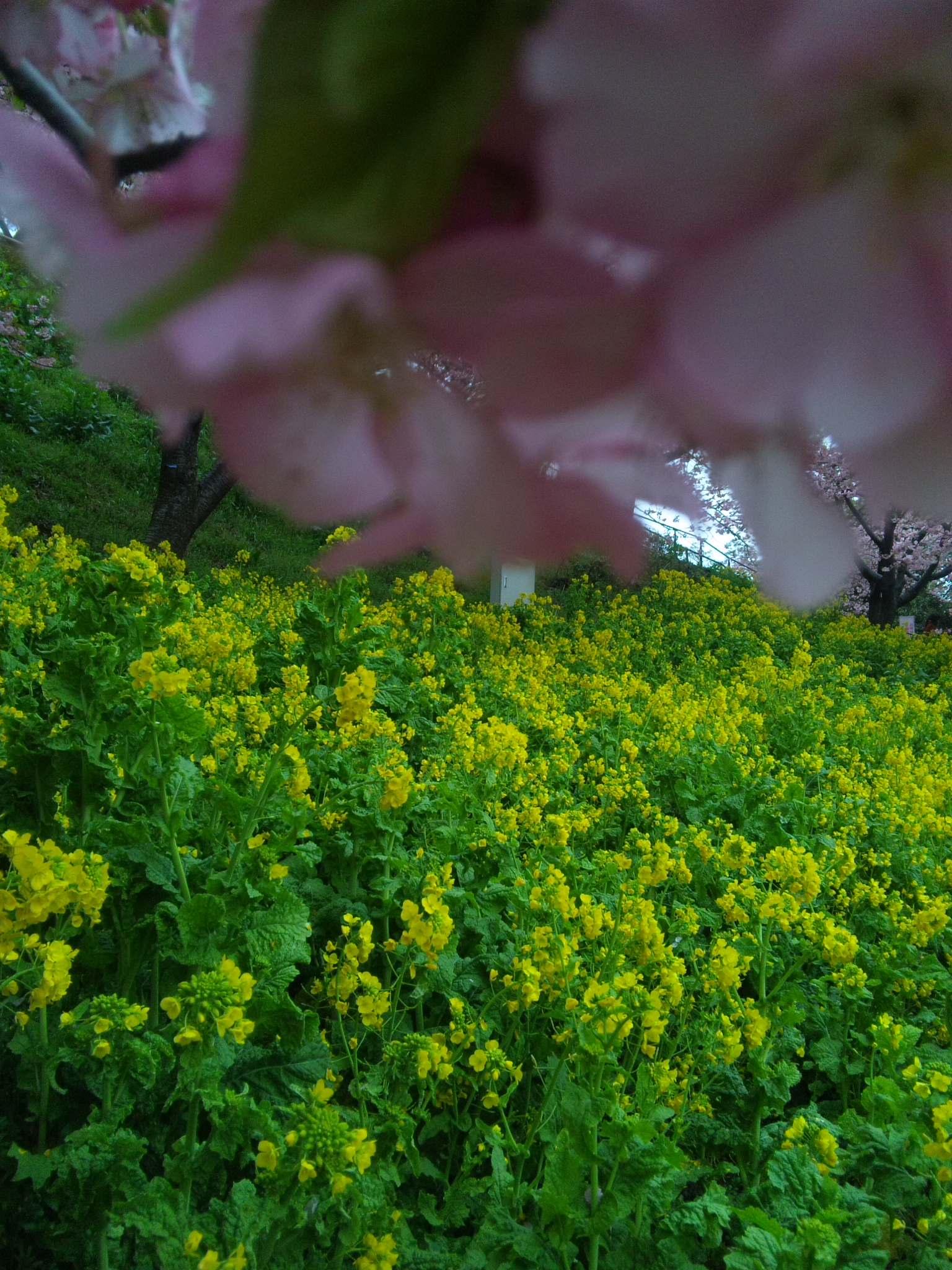 松田山 桜まつり