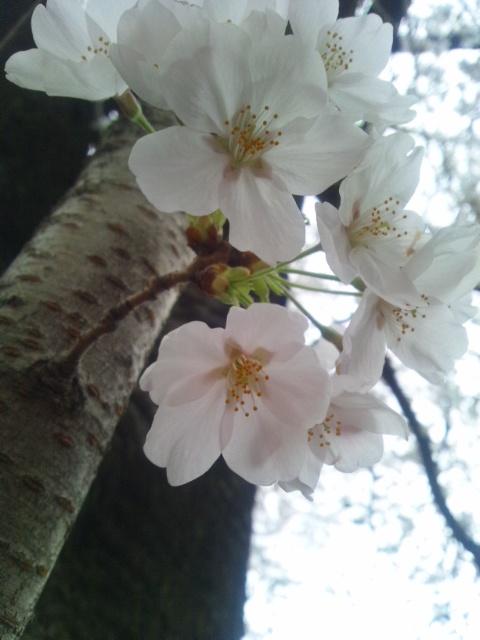 桜…その1